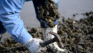 Local Beaufort Oyster Harvesting Video